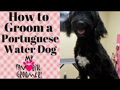 Grooming a Portuguese Water Dog