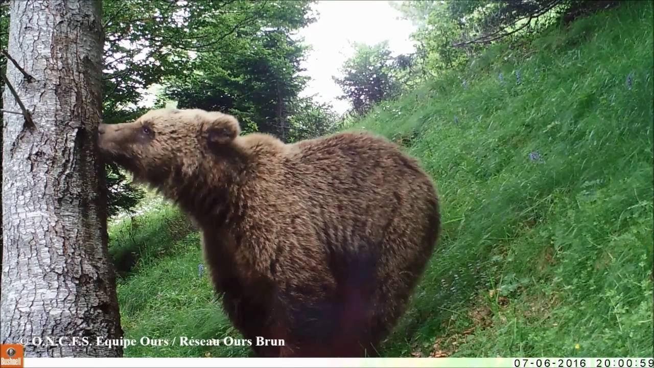 Image D Ours Brun vidéos et photos automatiques d'ours brun, juillet 2016 - equipe