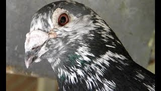 Real Madrid Loft - 340 Miles Young Bird Race - Racing Pigeons