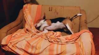 Beagle Getting Her Ears Clean
