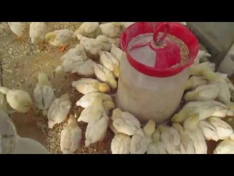 Кормление цыплят бройлеров в домашних условиях