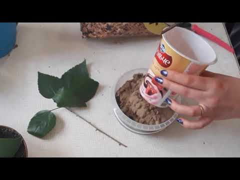 Гибискус черенкование и укоренение/черенкование китайской розы
