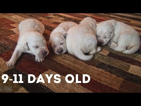 Lab Puppies 9 to 11 days old | Watching Lab Puppies Grow