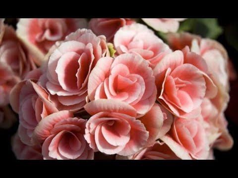 Begonia elatior reproduccion asexual de las plantas