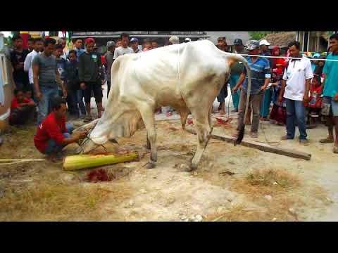 Teknik jagal sapi yang simpel dan mudah dipraktekkan