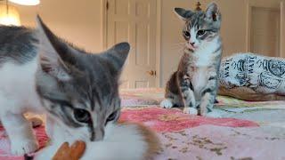 Growling Stumbling Kittens! 2020-07-08
