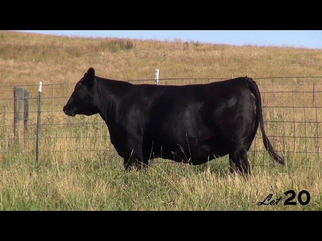 Pine Coulee Angus Lot 20