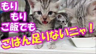 【子猫のおねだり動画】「ごはん!ごはん!だにゃ~」❤(^^♪Animation of my cute kittens.