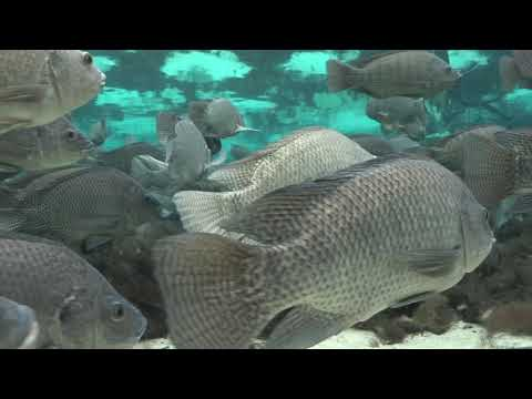 Springs Field Guide - Blue Tilapia