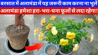 अलामंडा में बारिश में यह जरूरी काम करना ना भूलें|अलामंडा हरा-भरा-घना फूलों से लदा रहेगा|monsoon sp.