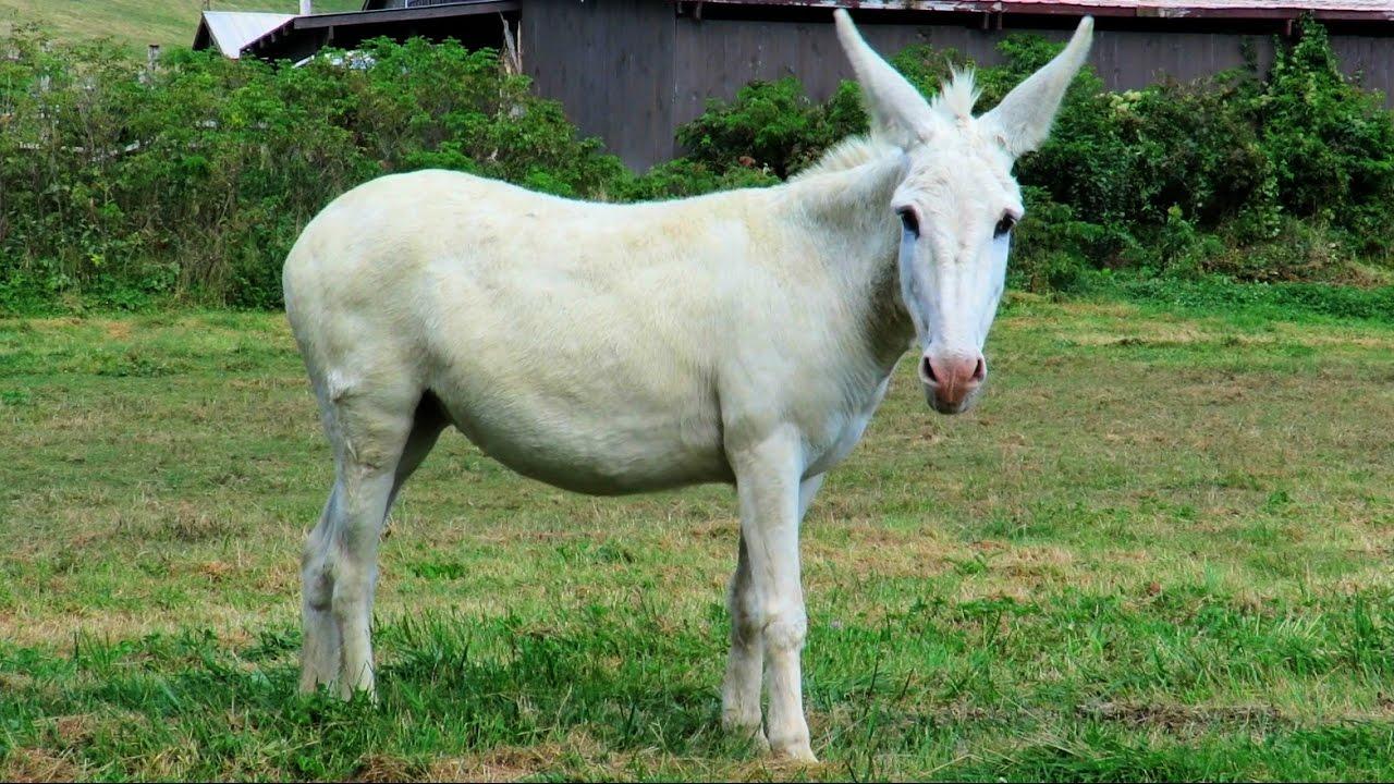 Old White Mule - YouTube
