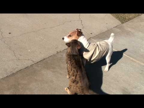 Bengal Cat Attacks Jack Russell Terrier, HD VIDEO