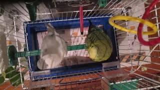 Волнистые попугаи поют