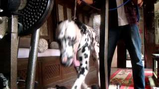 """torres"" The Dalmatian On Trademill"