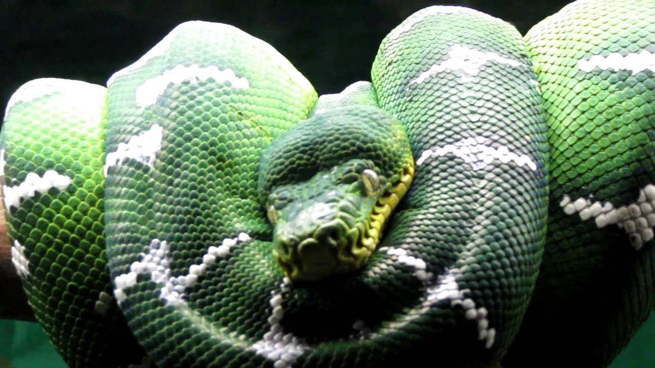 EMERALD TREE BOA - YouTube