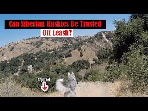 Siberian Husky Breaks Loose, How To Off Leash Train Your Dog