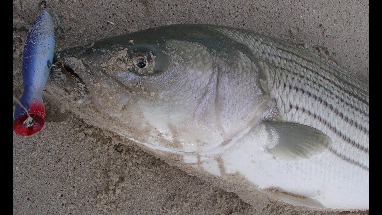 Surfcasting for striped bass with poppers super strike for John skinner fishing