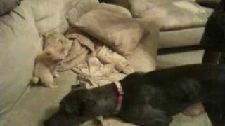 Great Dane And Toy Pomeranian Playing