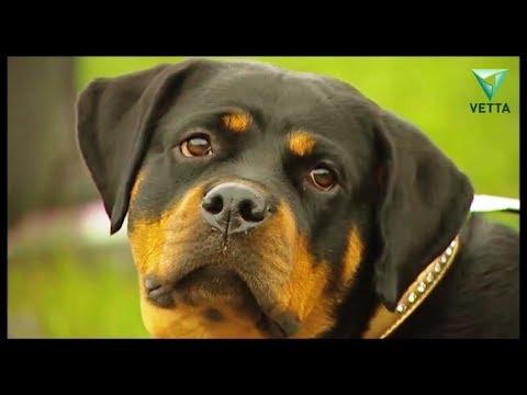 Ротвейлер: описание породы, характер собаки