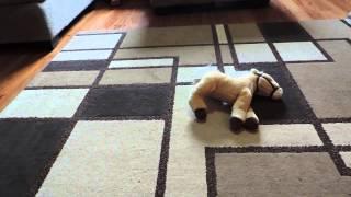Large Miniature Australian Labradoodle Puppy 4 Months Old