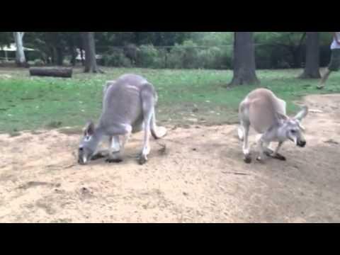 Kangaroos at Lone Pine Koala Sanctuary