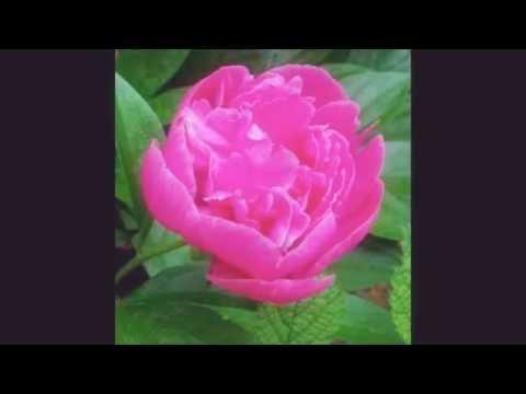 Bangla Islamic song,,,Tumi josti Mukul. Misty Bokul,,Bristy vija full,