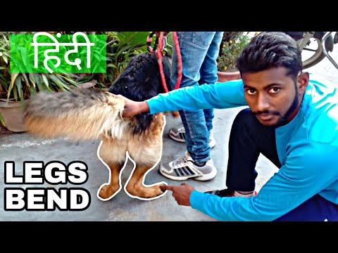 Solve Dog Legs Bend Problem 100% with Proof { dog training in hindi }