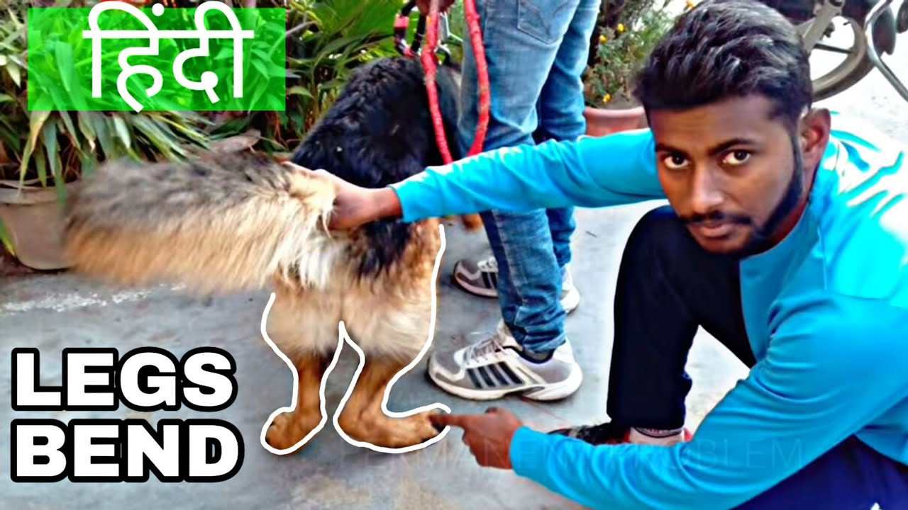 Solve Dog Legs Bend Problem 100 With Proof Dog Training In Hindi