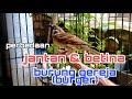 Perbedaan Jantan Betina Burung Gereja Burger  Mp3 - Mp4 Download