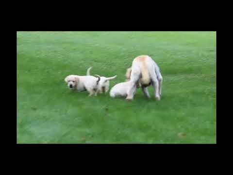 Yellow Labrador Retriever Puppies For Sale Quentin Weaver