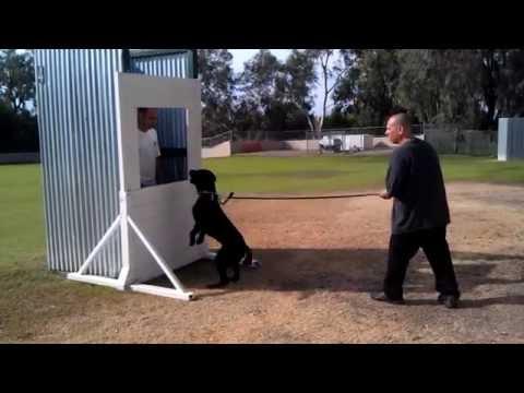 protection-guard-work-k9-prince-(a-labrador)-@-sirius-k9-academy