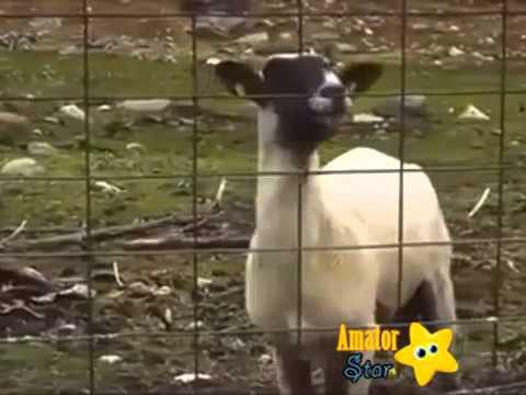 Hüloğğğ Teyzenin Koyunu !! ## Kopmak Garanti #