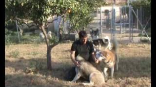 Siberian Huskies In Spain