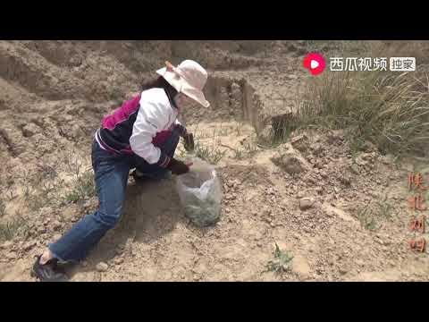 陕北刘四:刘四和媳妇去山上找索牛牛绑粽子,看着家乡的风光,刘四高歌一曲
