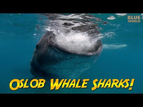 Philippines Whale Sharks! | JONATHAN BIRD'S BLUE WORLD