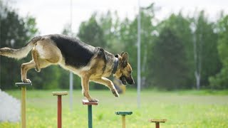 Video - Dogs Trying Hard to Met | German Shepherd training