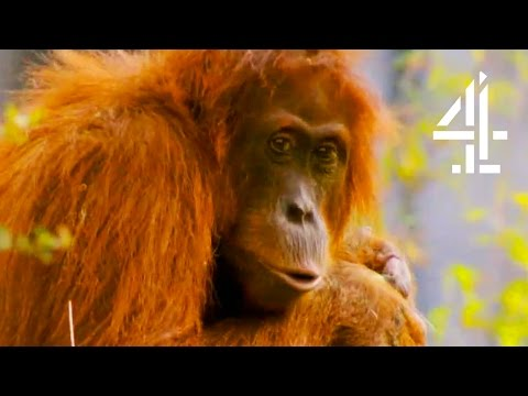 A Cheeky Orangutan Christmas | The Secret Life Of The Zoo At Christmas