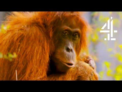 A Cheeky Orangutan Christmas   The Secret Life Of The Zoo At Christmas
