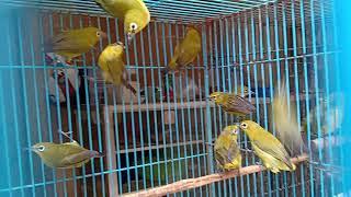 Ombyokan Burung Pleci Dakun