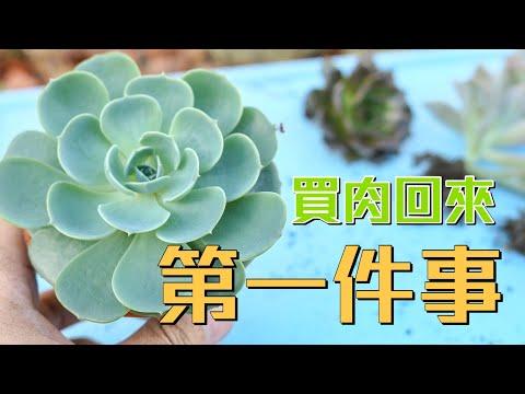 【威霖TV】多肉新手必看之 買肉回來要先做什麼事?The first thing after buy succulents!