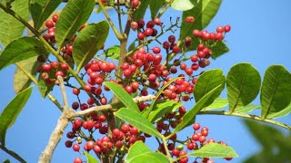 Aroeira (Pimenta rosa) medicina popular