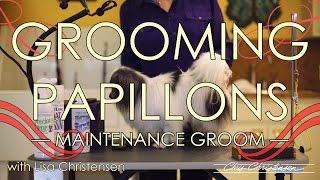 Papillon Grooming with Lisa Christensen — Maintenance Groom