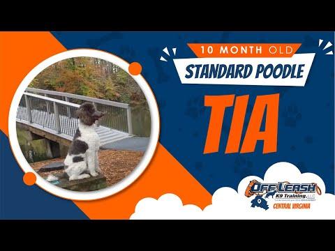 10 mo Standard Poodle (Tia) | Best Va Dog Trainers | Off Leash K9 Training
