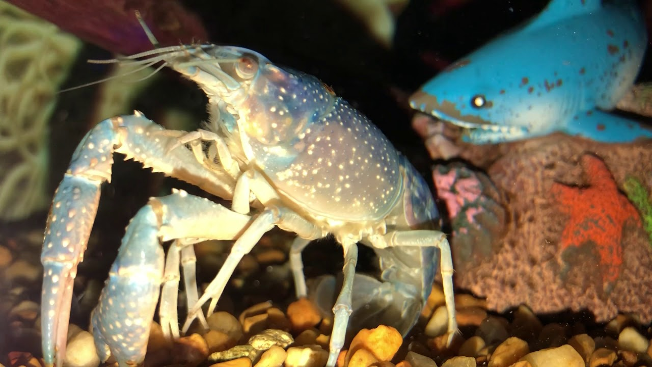 My pet crawfish dying from shell rot
