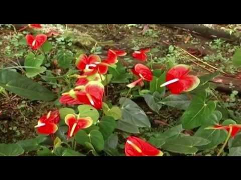 Cuidados de la planta anthurium funnycat tv for Anturio cuidados