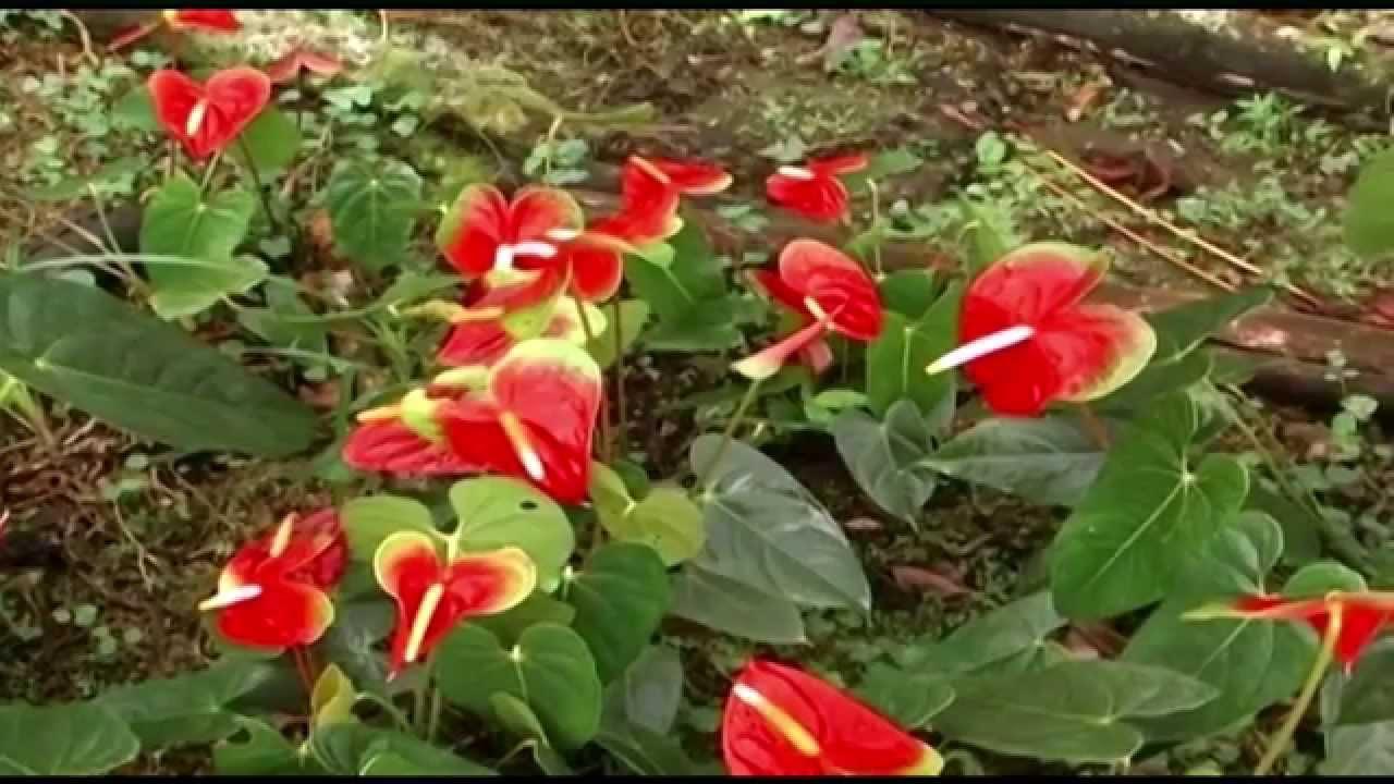 C mo cultivar anturios tvagro por juan gonzalo angel - Plantas para hacer setos ...