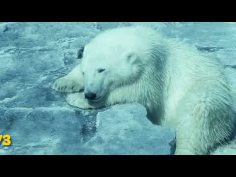 What to know about polar bears and global warming