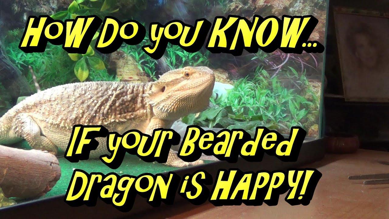 Snow Bearded Dragon
