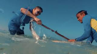 Atlantis Atlas Project | Releasing sharks into the Arabian Gulf