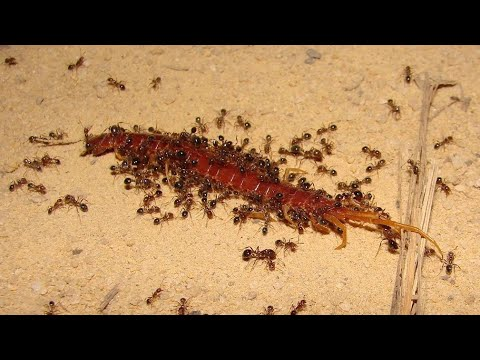 МУРАВЬИ - маленькие монстры нападают на всех! Муравьи против сольпуги, скорпиона, змеи!